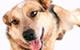 As 10 Raças de cães mais inteligentes do mundo
